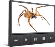Spider Phobia Video